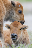 Wyoming, Yellowstone National Park, a Bison Calf Nuzzles Another to Play Photographic Print by Elizabeth Boehm