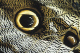 Eye Spot on a Giant Owl Butterfly. La Selva Reserve, Ecuador Photographic Print by Thomas Wiewandt