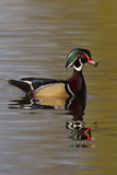 Wood Duck Drake Photographic Print by Ken Archer