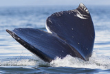 Gray Whale Diving, Hood Canal, Washington State Photographic Print by Ken Archer