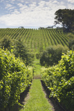 Australia, Adelaide Hills, Gumeracha, Vineyard Photographic Print by Walter Bibikow