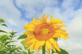 Sunflowers, Community Garden, Moses Lake, Wa, USA Photographic Print by Stuart Westmorland