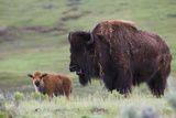 Bison Cow with Calf Photographic Print by Ken Archer