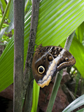 Yellow Edged Giant Owl Butterfly, La Finca De Mariposas, Costa Rica Photographic Print by Thomas Wiewandt