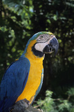 Blue and Gold Macaw, a Talking Pet Bird. Big Pine Key, Florida Photographic Print by Thomas Wiewandt