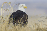 Bald Eagle on the Ground Photographic Print by Ken Archer
