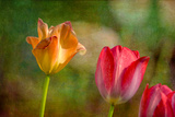 Red and Yellow Tulips on Textured Background Photographic Print by Rona Schwarz