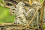 Close Up of an Eastern Gray Squirrel Scratching Itself on Branch Photographic Print by Rona Schwarz