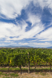 Australia, Victoria, Yarra Valley, Vineyard Photographic Print by Walter Bibikow