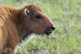 Bison Calf Photographic Print by Ken Archer