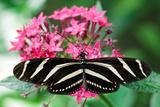 Zebra Heliconia, Zebra Longwing, Heliconius Charitonius, Costa Rica Photographic Print by Susan Degginger