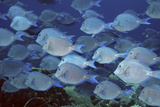 Blue Tangs. Acanthurus Coeruleus. Curacao, Netherlands Antilles Photographic Print by Barry Brown
