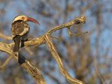 Red Billed Hornbill, Tockus Leucomelas, Bushveld, Namibia Reproduction photographique par Maresa Pryor