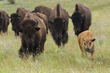 Bison Herd with Calf Photographic Print by Ken Archer