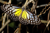 Yellow Glassy Tiger Butterfly. Sentosa Butterfly Park, Singapore Photographic Print by Thomas Wiewandt