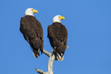 Pair of Bald Eagles, Haliaeetus Leucocephalus, Sw Florida Photographic Print by Maresa Pryor