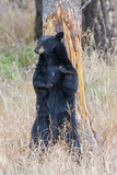 USA, Wyoming, Yellowstone National Park, Black Bear Scratching on Lodge Pole Pine Photographic Print by Elizabeth Boehm