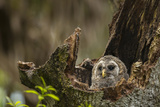 Barred Owl Chick in Nest Cavity in an Oak Tree Hammock, Florida Photographic Print by Maresa Pryor