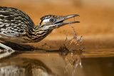 Starr County, Texas. Greater Roadrunner Drinking at Pond Reproduction photographique par Larry Ditto