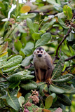 Central American Squirrel Monkeys, Manuel Antonio, Costa Rica Photographic Print by Susan Degginger