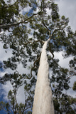 Australia, Perth. Kings Park. Fraser Avenue, Lemon Scented Gum Tree Photographic Print by Cindy Miller Hopkins