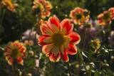 Dahlias, Dahlia Farm, Canby, Oregon, USA Photographic Print by Michel Hersen