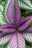 Persian Shield Plant, Strobilanthes Dyerianus, Costa Rica Reproduction photographique par Susan Degginger
