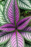 Persian Shield Plant, Strobilanthes Dyerianus, Costa Rica Photographic Print by Susan Degginger