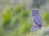 Wyoming, Yellowstone National Park, Great Gray Owl Hunting from Rock Photographic Print by Elizabeth Boehm