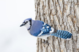 Wichita County, Texas. Blue Jay, Cyanocitta Cristata, Feeding in Snow Fotografisk tryk af Larry Ditto