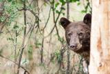 Juvenile Black Bear Portrait, Missoula, Montana Photographic Print by James White