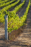 Southwest Australia, Margaret River Wine Region, Vineyard Photographic Print by Walter Bibikow