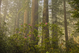 Redwood Trees and Rhododendrons in Forest Photographic Print by Terry Eggers
