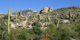 Saguaro Hillside, Catalina, Az Reproduction photographique par Susan Degginger