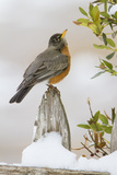 Wichita Falls, Texas. American Robin Searching for Berries Stampa fotografica di Larry Ditto