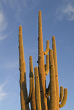 Arizona, Organ Pipe Cactus Nm. Saguaro Cactus in Front of a Blue Sky Photographic Print by Kevin Oke
