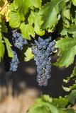 Southwest Australia, Margaret River Wine Region, Vineyard Photographic Print by Walter Bibikow