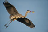 Florida, Venice, Great Blue Heron Flying Wings Wide Calling Photographic Print by Bernard Friel