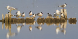 Montana, Red Rock Lakes, Franklyns Gulls and Ring Billed Gulls Roost Reproduction photographique par Elizabeth Boehm