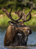 Bull Moose Feeding in Glacier National Park, Montana, USA Photographic Print by Chuck Haney