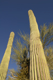 Arizona, Organ Pipe Cactus Nm. Saguaro Cactus Trunk with Blue Sky Photographic Print by Kevin Oke