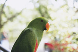 Indonesia, Micronesia, View of Eclectus Parrot Photographic Print by Stuart Westmorland