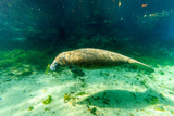 Juvenile Manatee Swimming in Clear Water in Crystal River, Florida Photographic Print by James White
