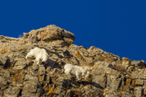 Billy Mountain Goats in Winter Coat in Glacier National Park, Montana, USA Photographic Print by Chuck Haney