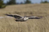 Snowy Owl in Flight Photographic Print by Ken Archer