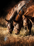 Three Horses Drinking in Dusky Light Photographic Print by Sheila Haddad