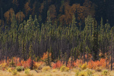 Jasper National Park, Autumn Boreal Forest Photographic Print by Ken Archer