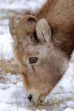 Rocky Mountain Bighorn Sheep Ram in Jasper National Park, Alberta, Canada Photographic Print by Richard Wright