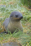 South Georgia. Prion Island. Antarctic Fur Seal in Tussock During Snow Photographic Print by Inger Hogstrom