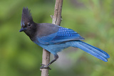 Stellers Jay Photographic Print by Ken Archer